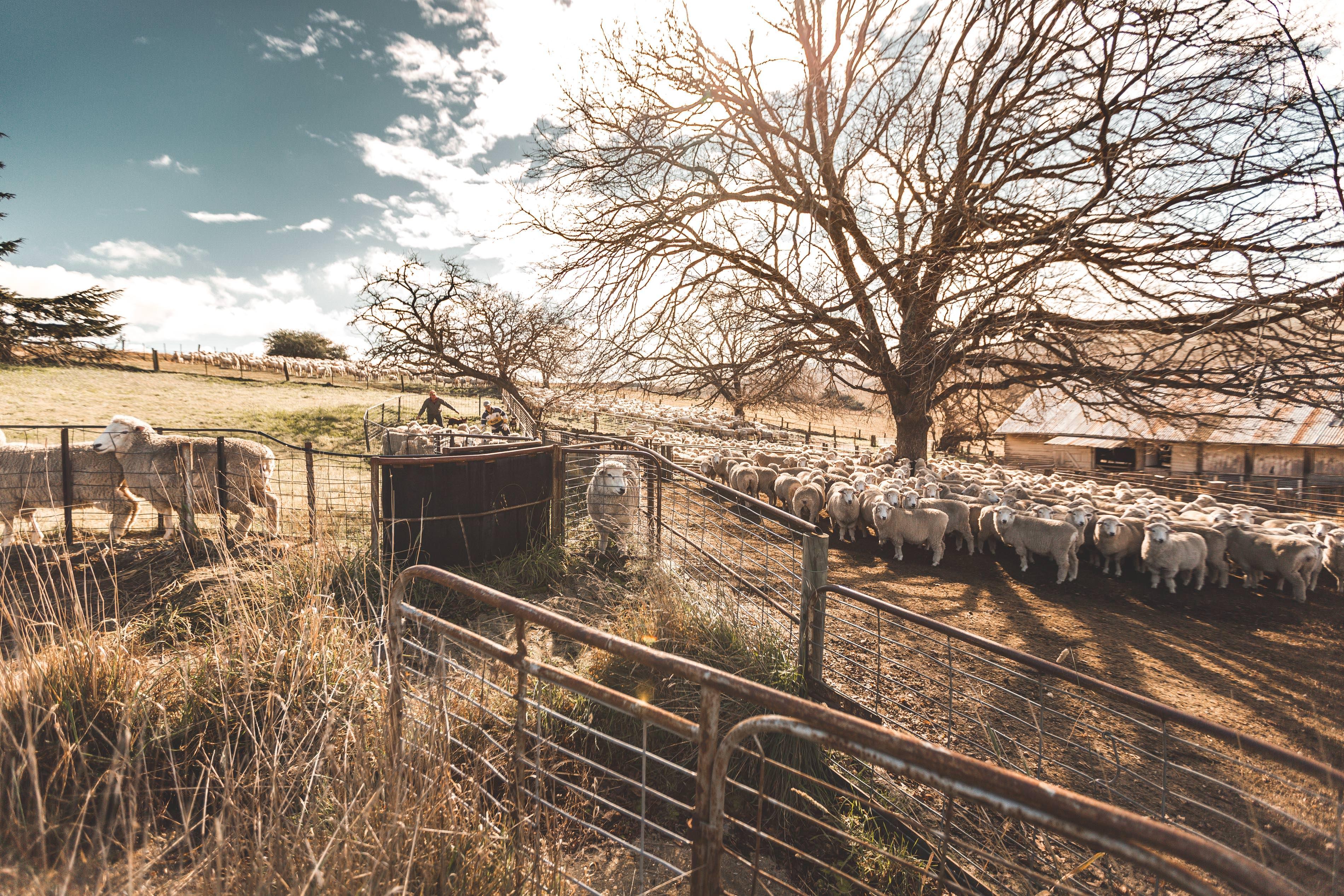 Crookwell Sheep Herding