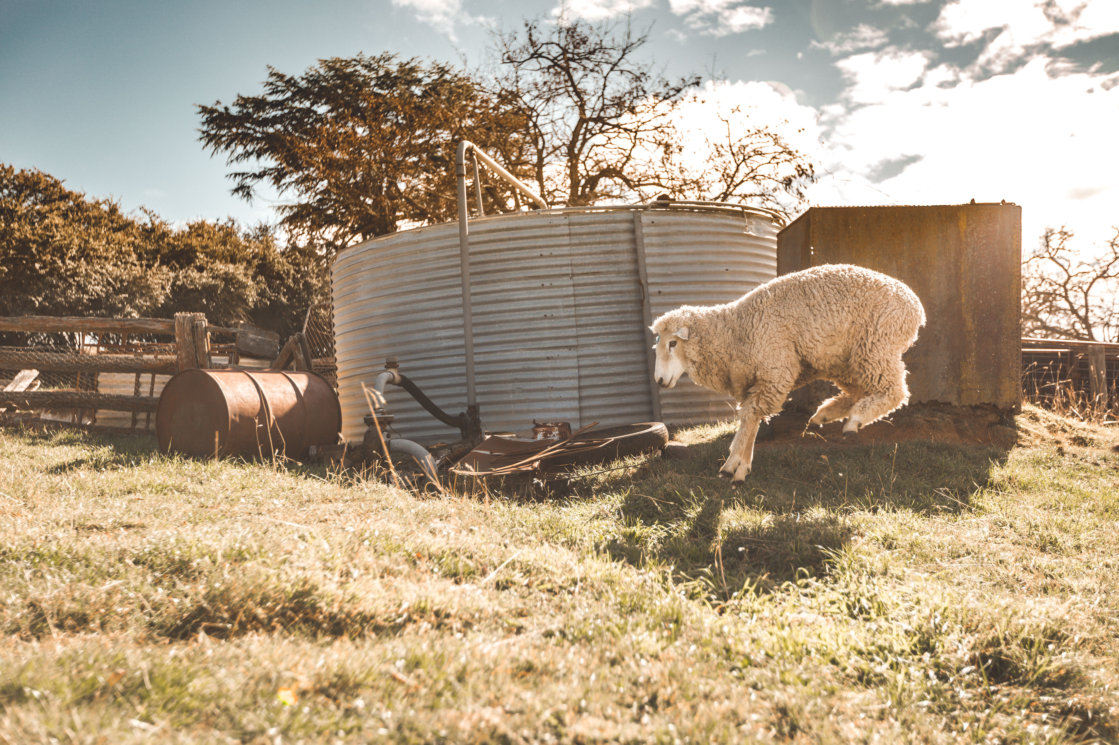 Crookwell Sheep Leaping 3