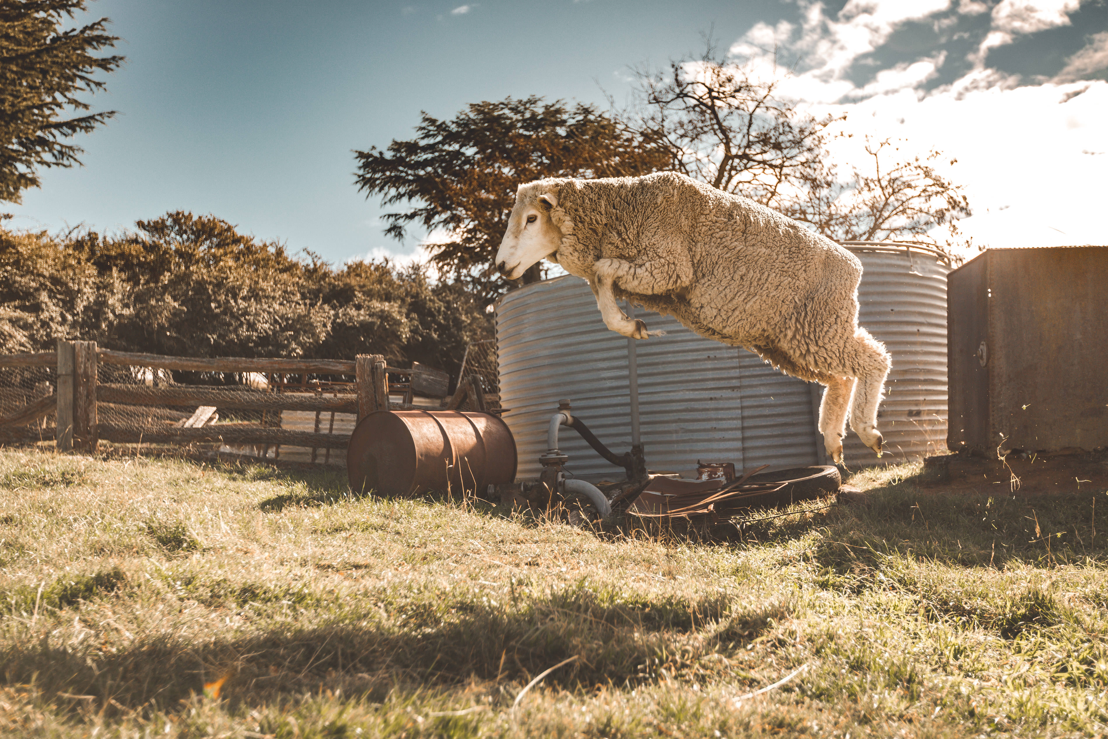 Crookwell Sheep Leaping