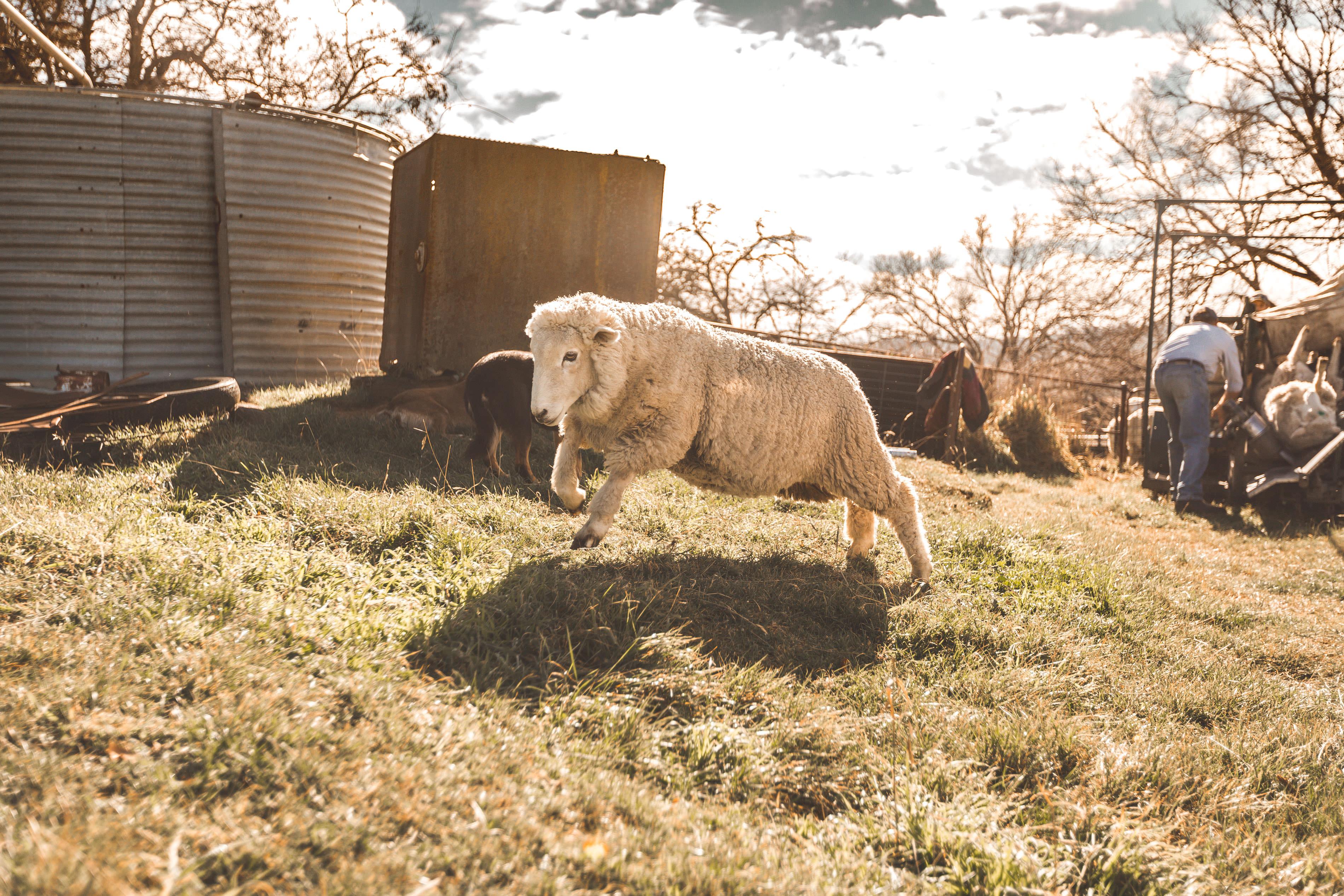 Crookwell Sheep Running 2