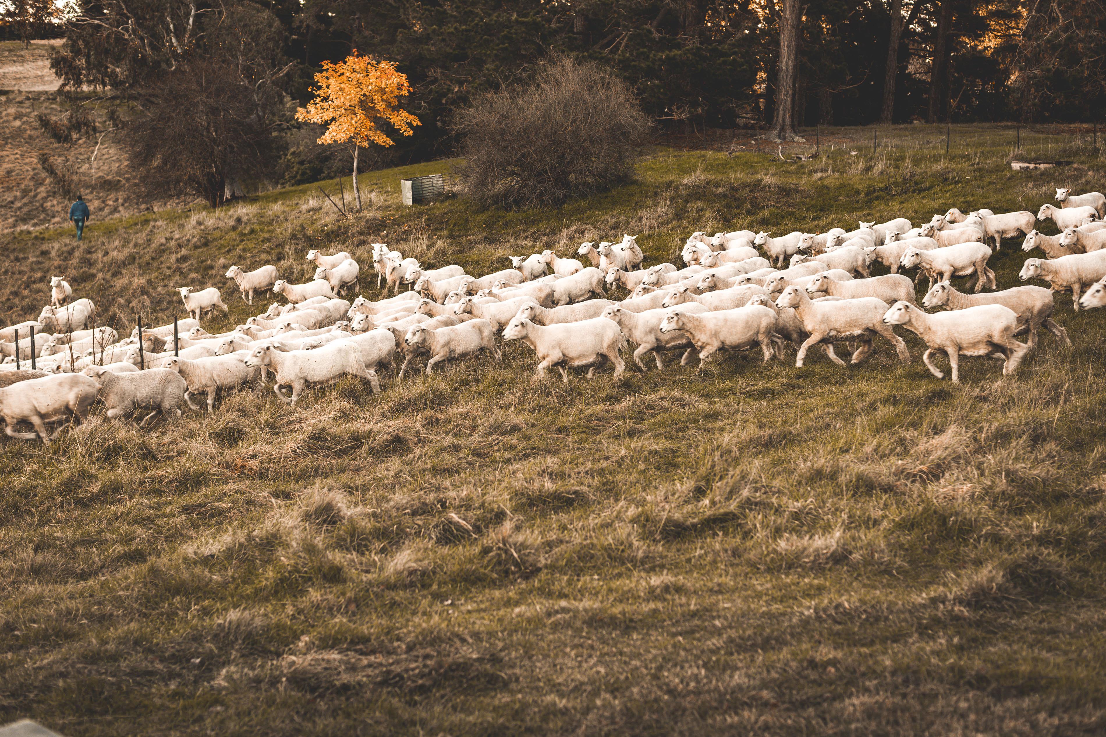 Crookwell Sheep Running
