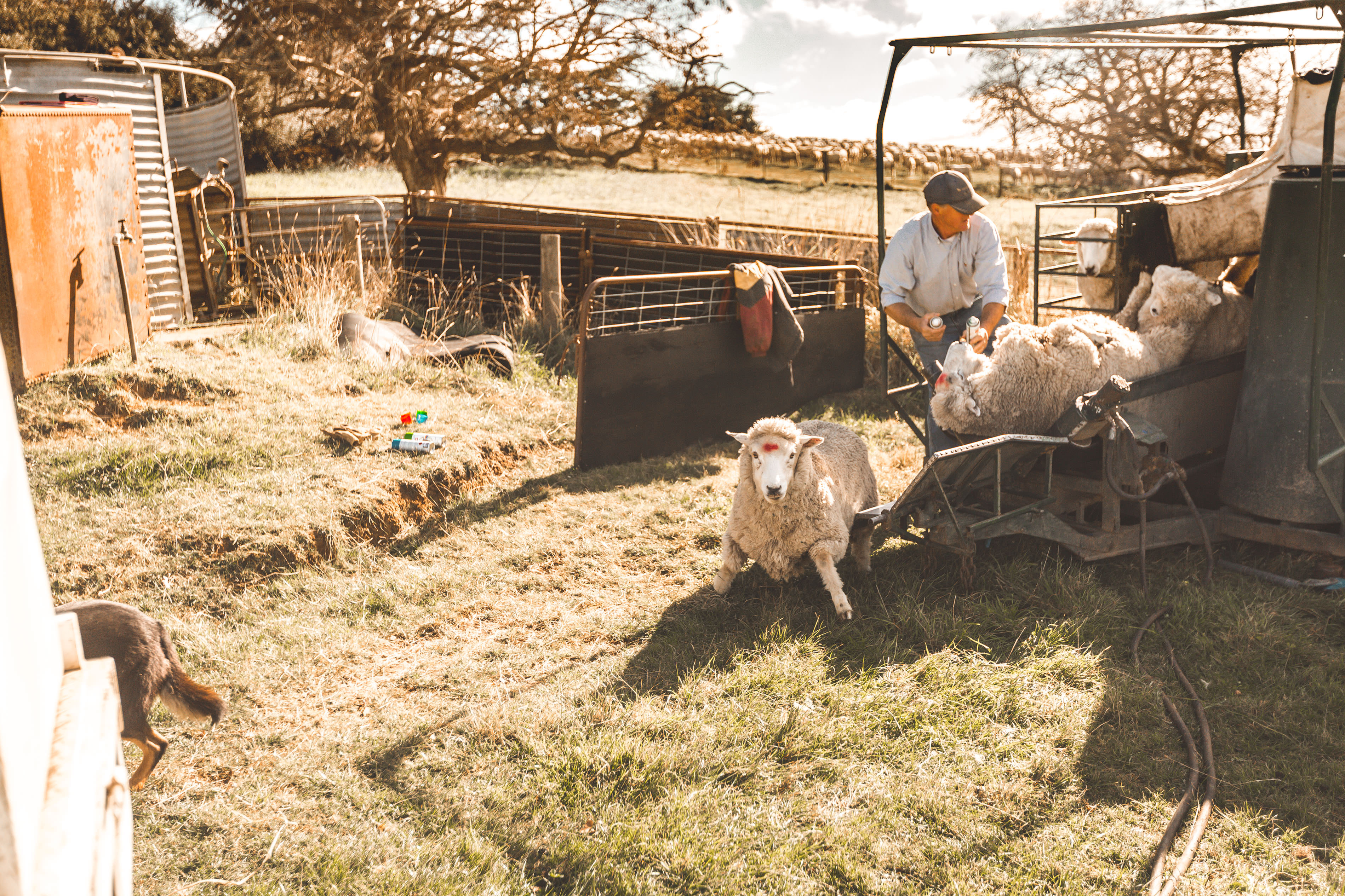 Crookwell Sheep Ultrasound 2